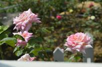 月季花品种如愿