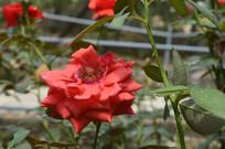 云台花园红色花朵月季