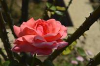 云台花园红月季