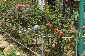 云台花园人工栽种的月季植株