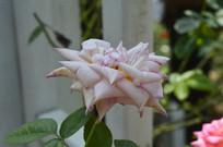 绽放的春雨月季花