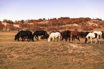 草原牧场牧马马匹骏马