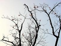 冬季的柿子树景观