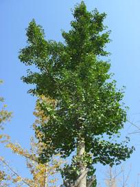 高耸的银杏树图片