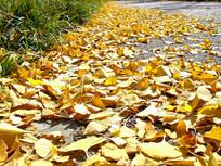 黄色的银杏落叶图片