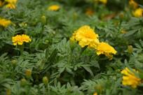 黄色菊花和绿叶