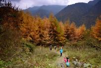 深秋金黄色的杉树林
