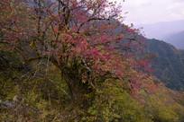 深秋开紫红色花的树