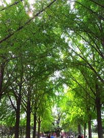 夏日银杏树的绿色枝叶