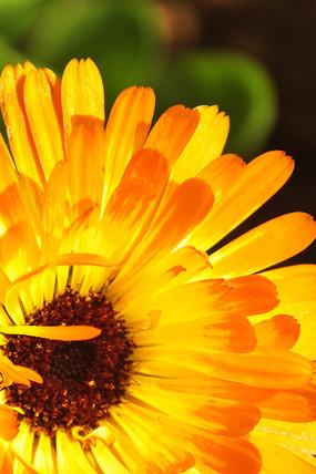 阳光下绽放的菊花