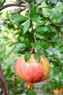 压弯树枝的果实