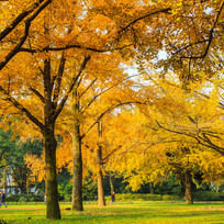 秋季金色树木图片