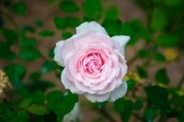 粉红的月季