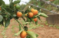 果园滑皮金桔