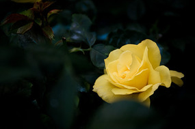 黄色的月季