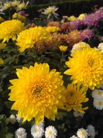 黄色莲花菊