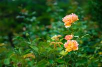 两朵月季花