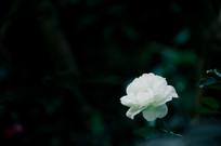 一朵白色月季
