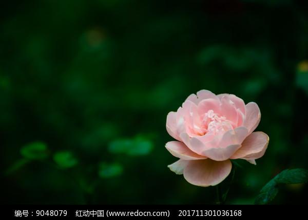 一朵粉色月季图片