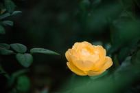 一朵黄色月季
