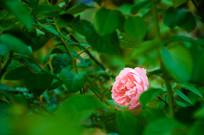 绽放的月季花