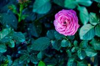 紫色的月季