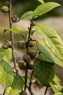 长满果实的爬藤榕