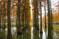 池杉树林秋景