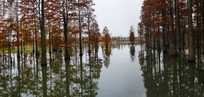 冬日池杉美景全景