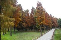 多彩池杉林