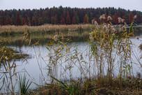 芦苇池杉林