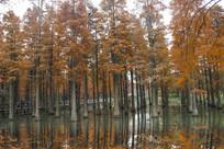 美景水杉倒影