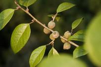爬藤榕枝叶和果实