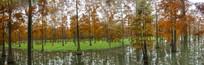 湿地池杉全景