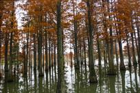 水生池杉林