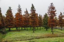 小树林池杉
