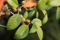 药用植物爬藤榕