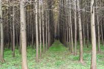 植树水杉林