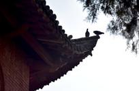 古建筑廊角上的鸽子