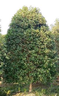 十年桂花树