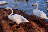 三门峡天鹅湖边白色的天鹅