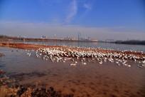 天鹅湖河滩上成群的天鹅