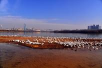 天鹅湖河滩上的天鹅