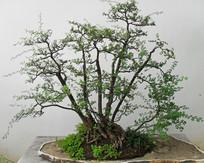 白色背景盆栽植物