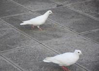 白色和平鸽图片素材