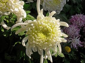 白色菊花特写图片