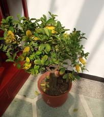 佛手绿植盆栽图片素材