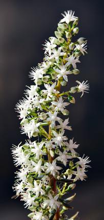 黑色背景白色花朵