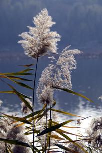 近拍湖边的芦苇草图片