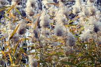 近拍秋天的芦苇